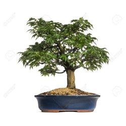 Small Crop Of Japanese Maple Bonsai