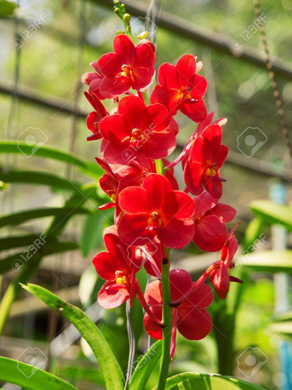 Red Vanda Orchid In Thailand Garden Green Garden On Background Stock Photo Picture And Royalty Free Image Image 62252712