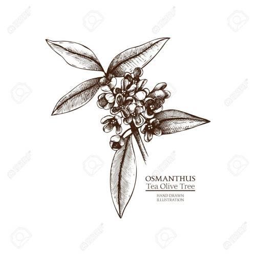 Medium Crop Of Tea Olive Tree