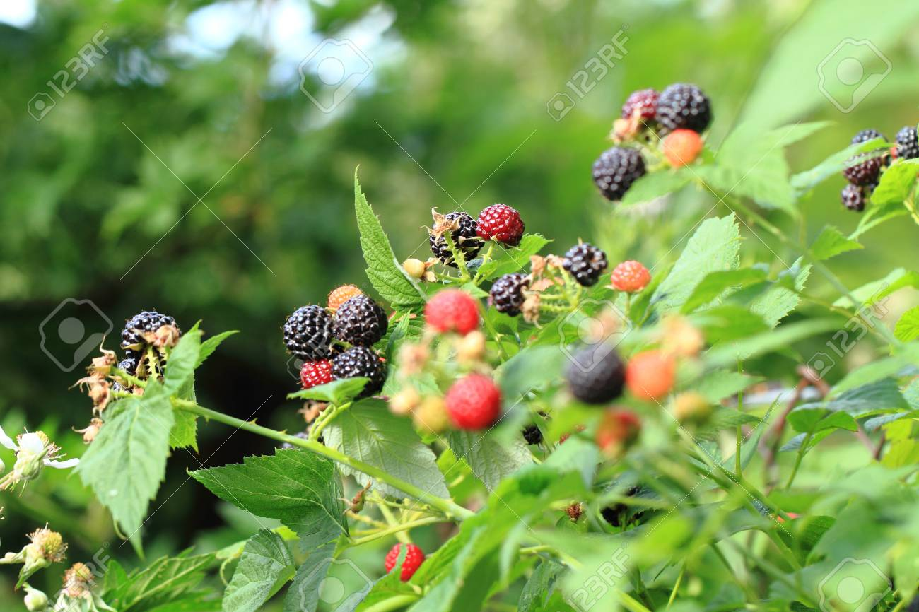 Brombeeren Pflanzen Stock Photo