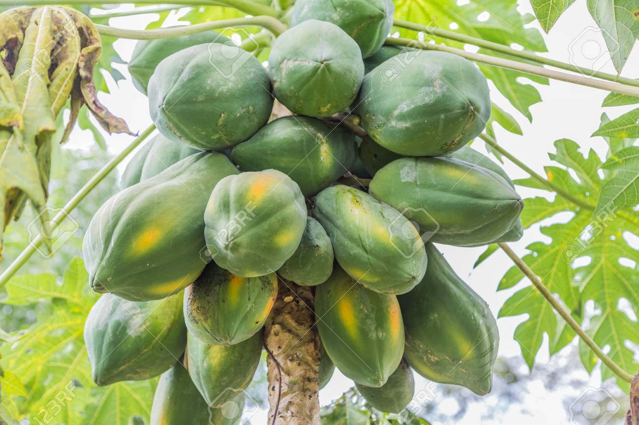 5 5 In Meters Papaya Is A Fruit Of A Height Of 5 10 Meters Are Native To Central