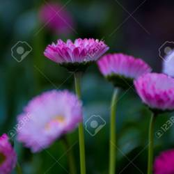 Beautiful Mixed White and Pink Color Daisy Long Stem Flower Stock