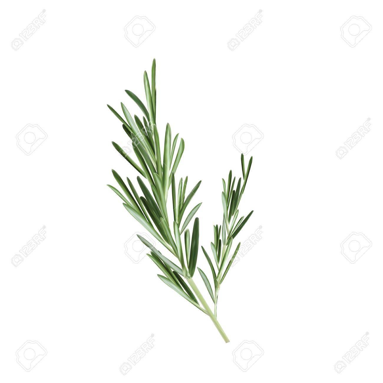 Fullsize Of Sprig Of Rosemary