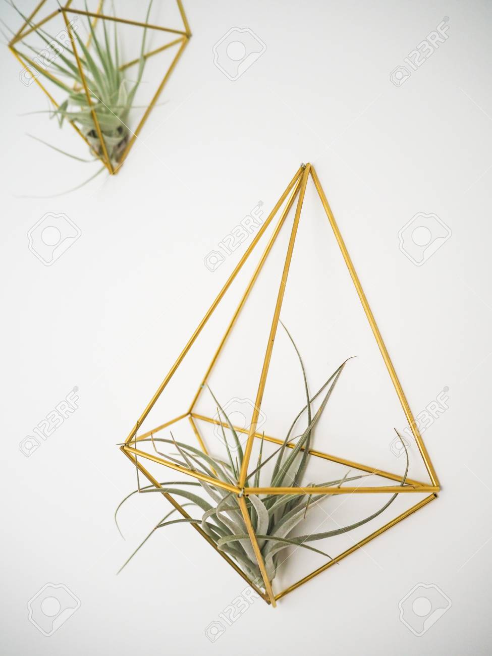 Air Plant Wall Holder Tillandsia Pohliana Air Plant Hanging In A Golden Holder On A
