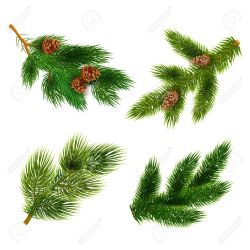 Small Crop Of Pine Tree Branch