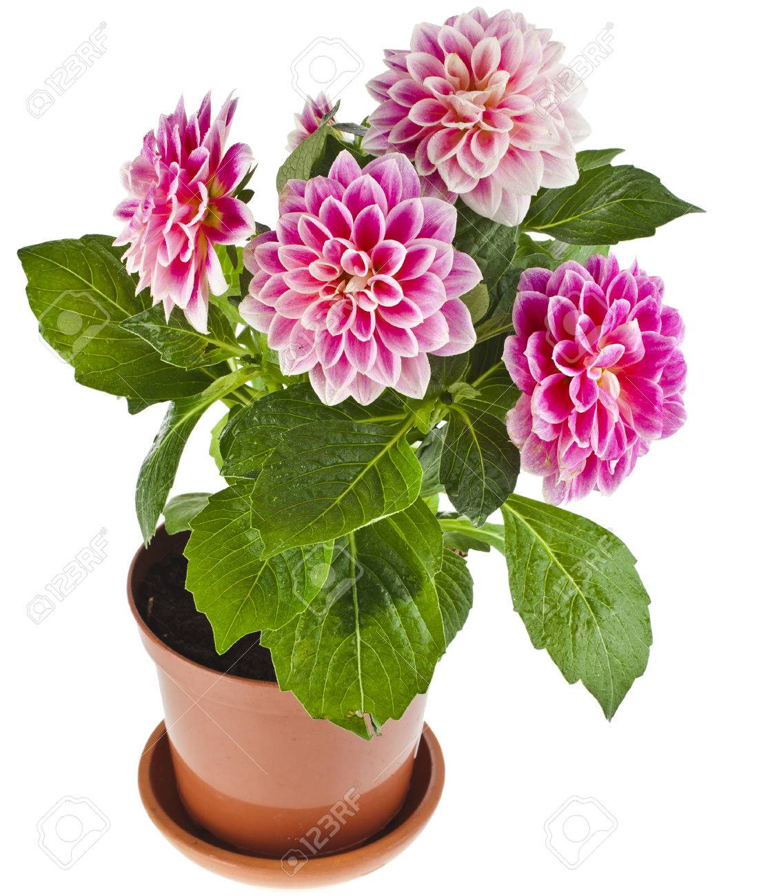 Dahlia Planten Colored Dahlia Flowers Plant In A Pot Isolated On White Background