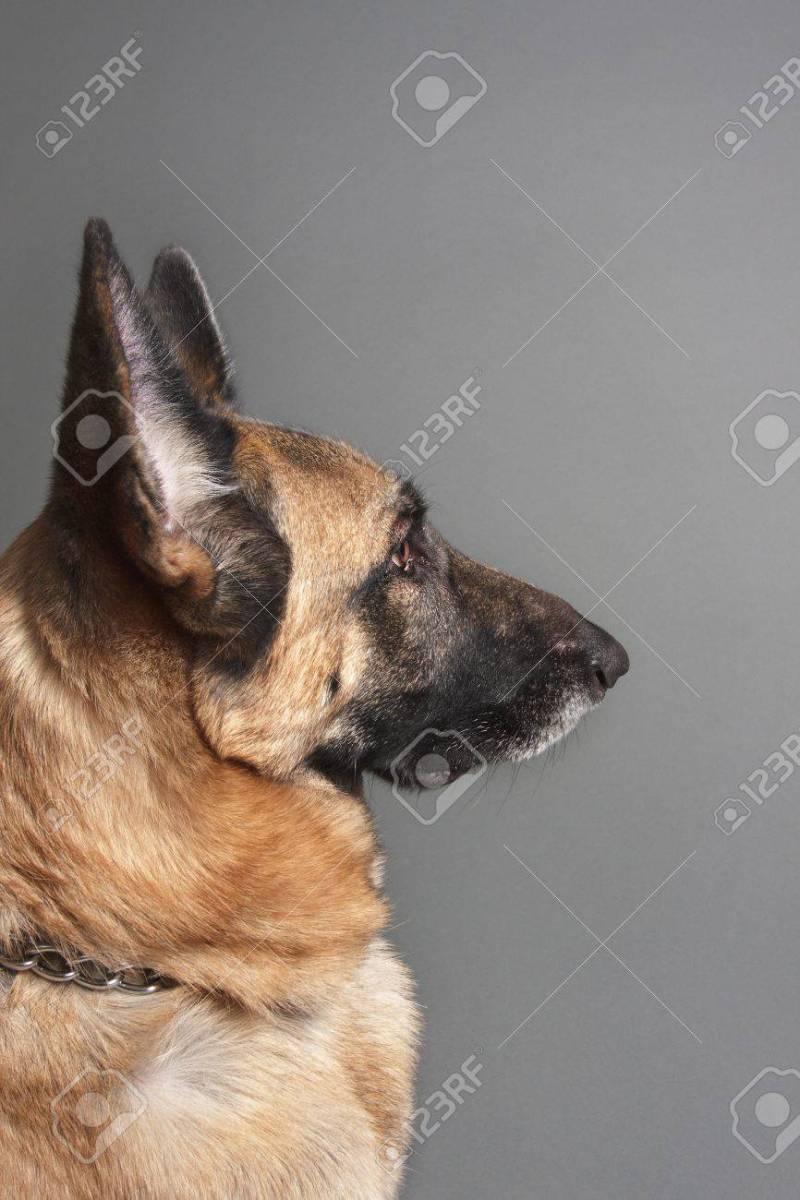 Large Of Female German Shepherd