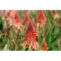 Small Crop Of Aloe Vera Flower