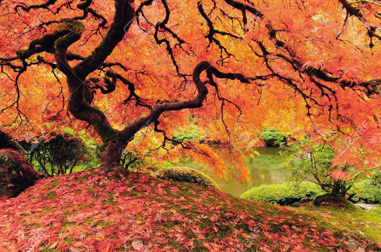 Ahorn October Glory Attractive Japanese Maple Tree In Full Autumn Glory