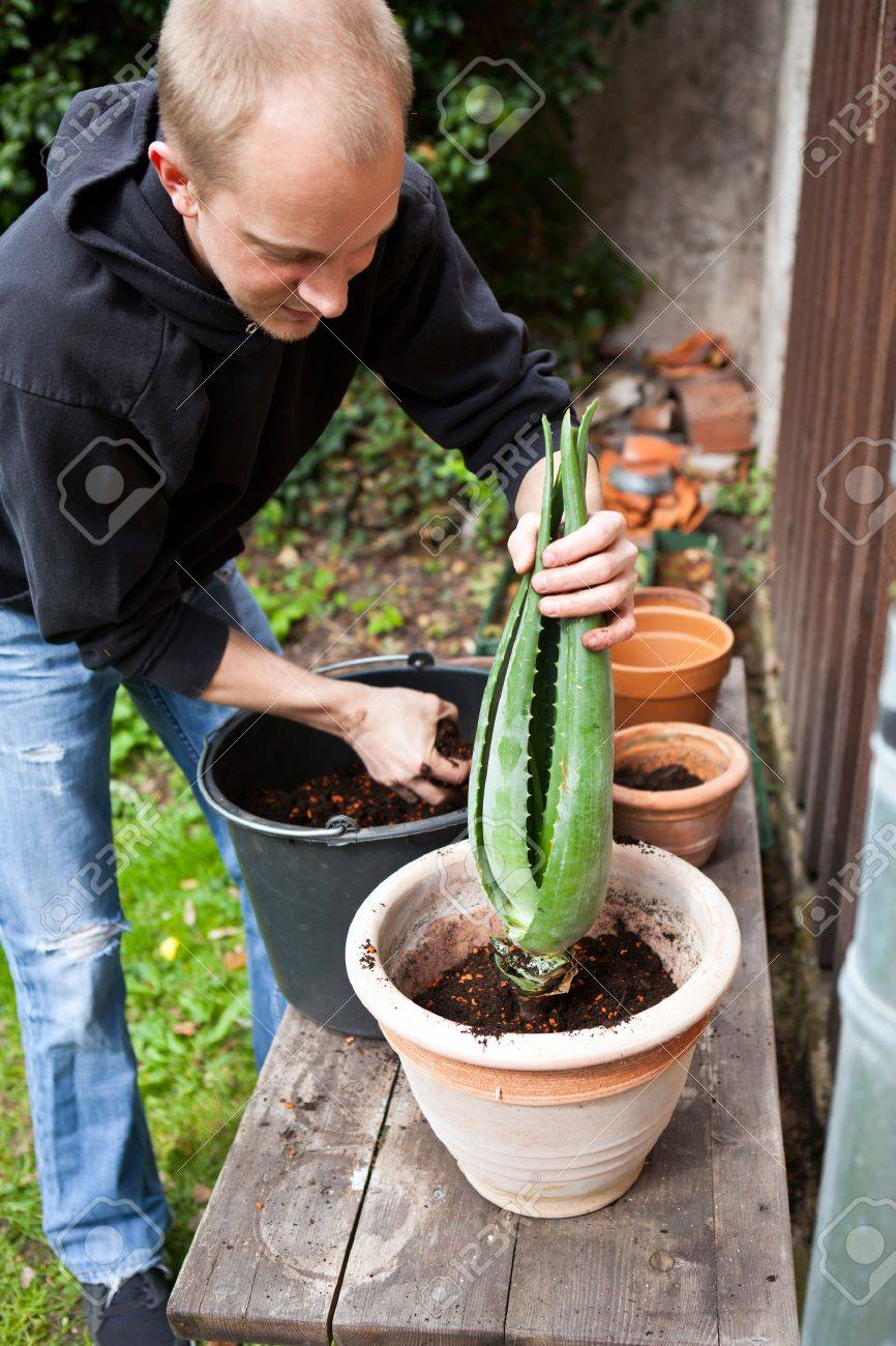 Aloe Vera Umtopfen Stock Photo