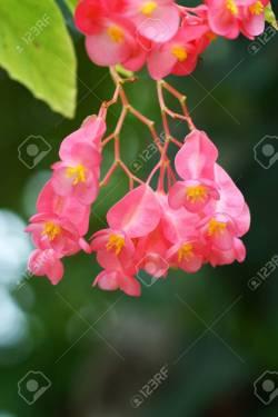 Seemly Begonia X Hybrida Dragon Wing Begonia Stock Photo Begonia X Hybrida Dragon Wing Begonia Dragon Wing Begonia Images Dragon Wing Begonia Pink