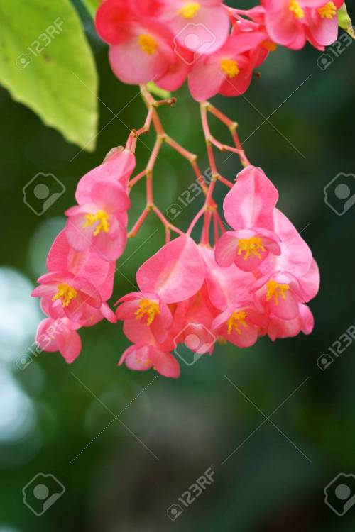 Medium Of Dragon Wing Begonia