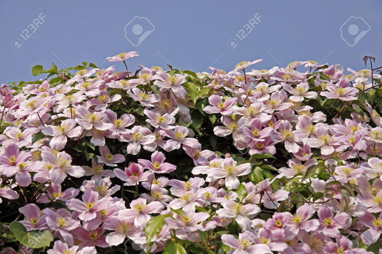 Clematis Pflanzen Video Clematis Montana Clematis Hybrid Climbing Plants In Germany
