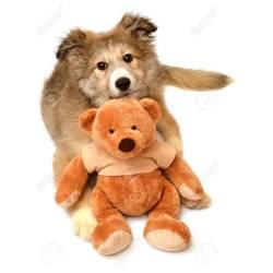Teddy Bear Dogs