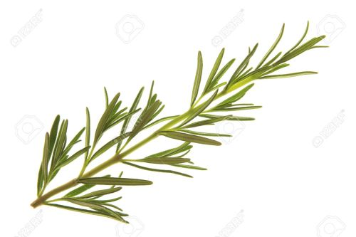 Astonishing Rosemary Stock Photo Sprig Rosemary Anzac Day Sprig Royalty Free Image Sprig Rosemary Stock Rosemary Sprig