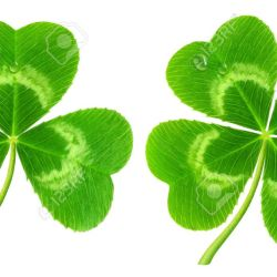 Three Leaf Clover Stock Photos Royalty Free Three Leaf Clover Images