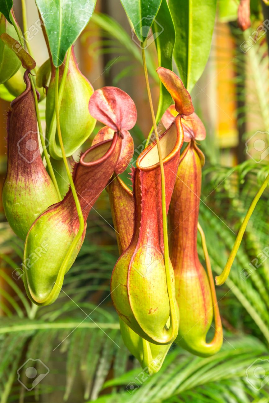 Carnivore Pflanzen Nepenthes Ventrata A Tropical Pitcher Plants Is A Genus Of