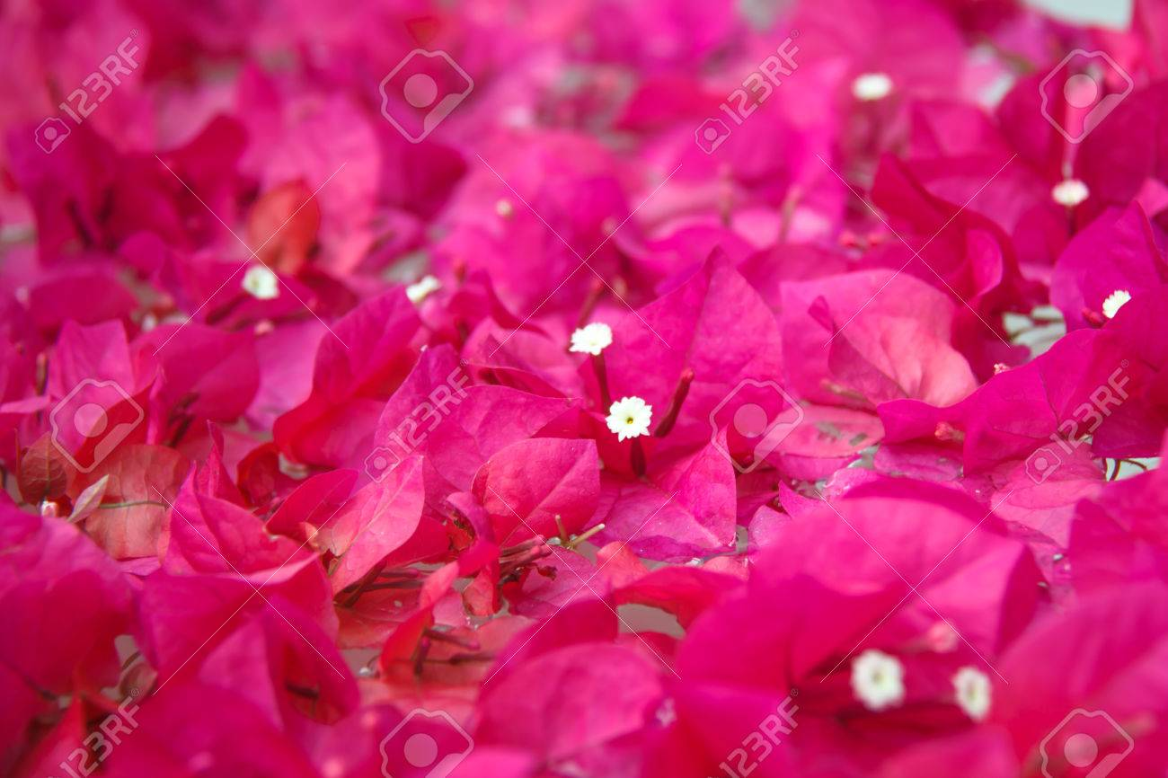 Bougainvillea Wallpaper Bougainvillea Wallpaper