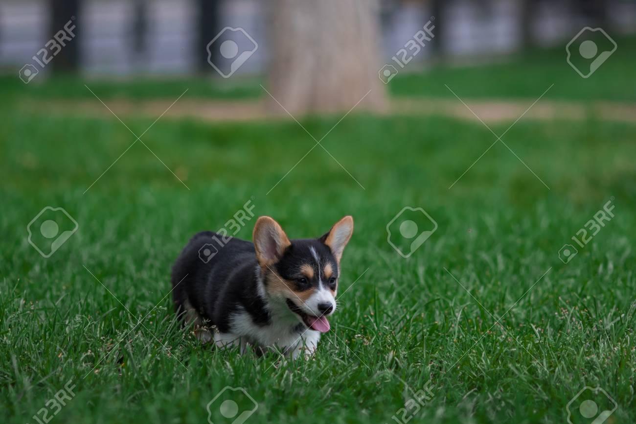 Absorbing Little Welsh Corgi Puppy Pembroke Corgi Dog Playingin Green Grass Photo Little Welsh Corgi Puppy Pembroke Corgi Corgi Puppies On Grass Corgi Puppy Images Photo bark post Cute Corgi Puppies