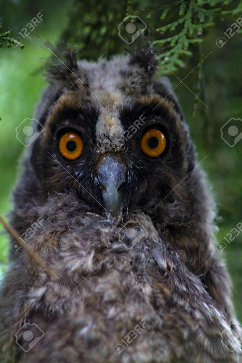 Large Of Grey Owl Juniper