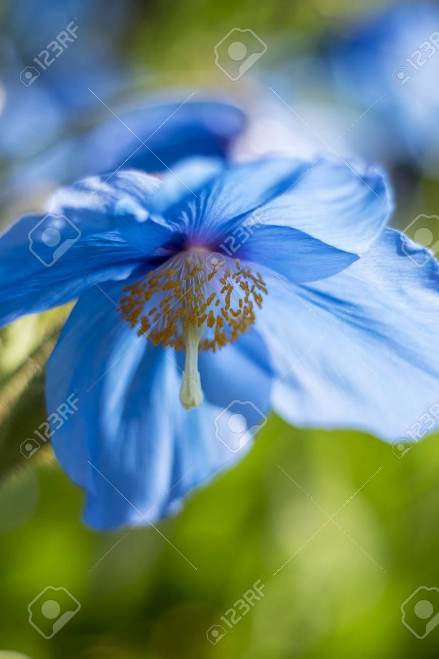 Fullsize Of Himalayan Blue Poppy