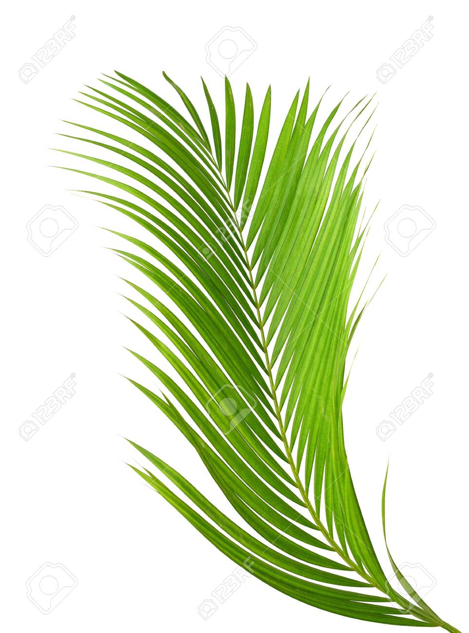 Yellow Palm Leaves Dypsis Lutescens Or Golden Cane Palm Areca Stock Photo Picture And Royalty Free Image Image 118986684