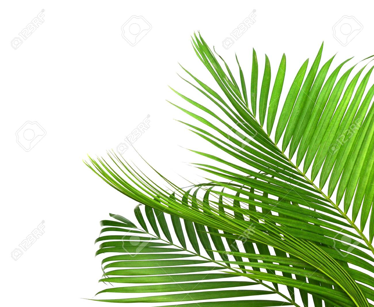 Yellow Palm Leaves Dypsis Lutescens Or Golden Cane Palm Areca Stock Photo Picture And Royalty Free Image Image 118986956
