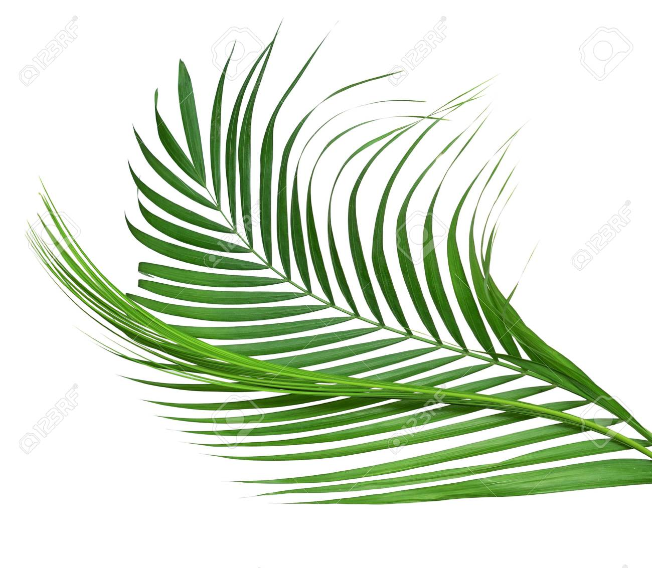 Yellow Palm Leaves Dypsis Lutescens Or Golden Cane Palm Areca Stock Photo Picture And Royalty Free Image Image 122708670