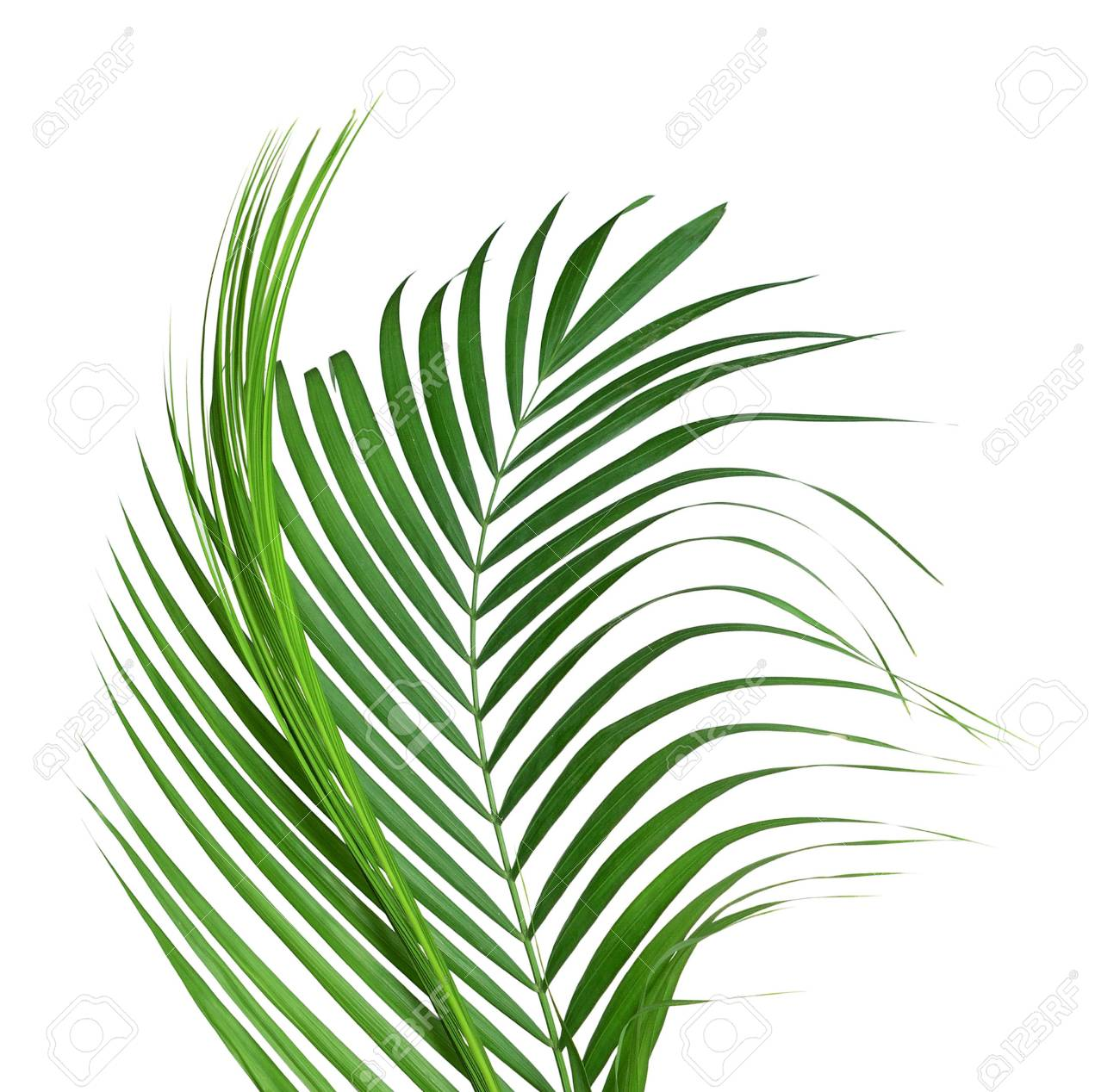 Yellow Palm Leaves Dypsis Lutescens Or Golden Cane Palm Areca Stock Photo Picture And Royalty Free Image Image 122708672
