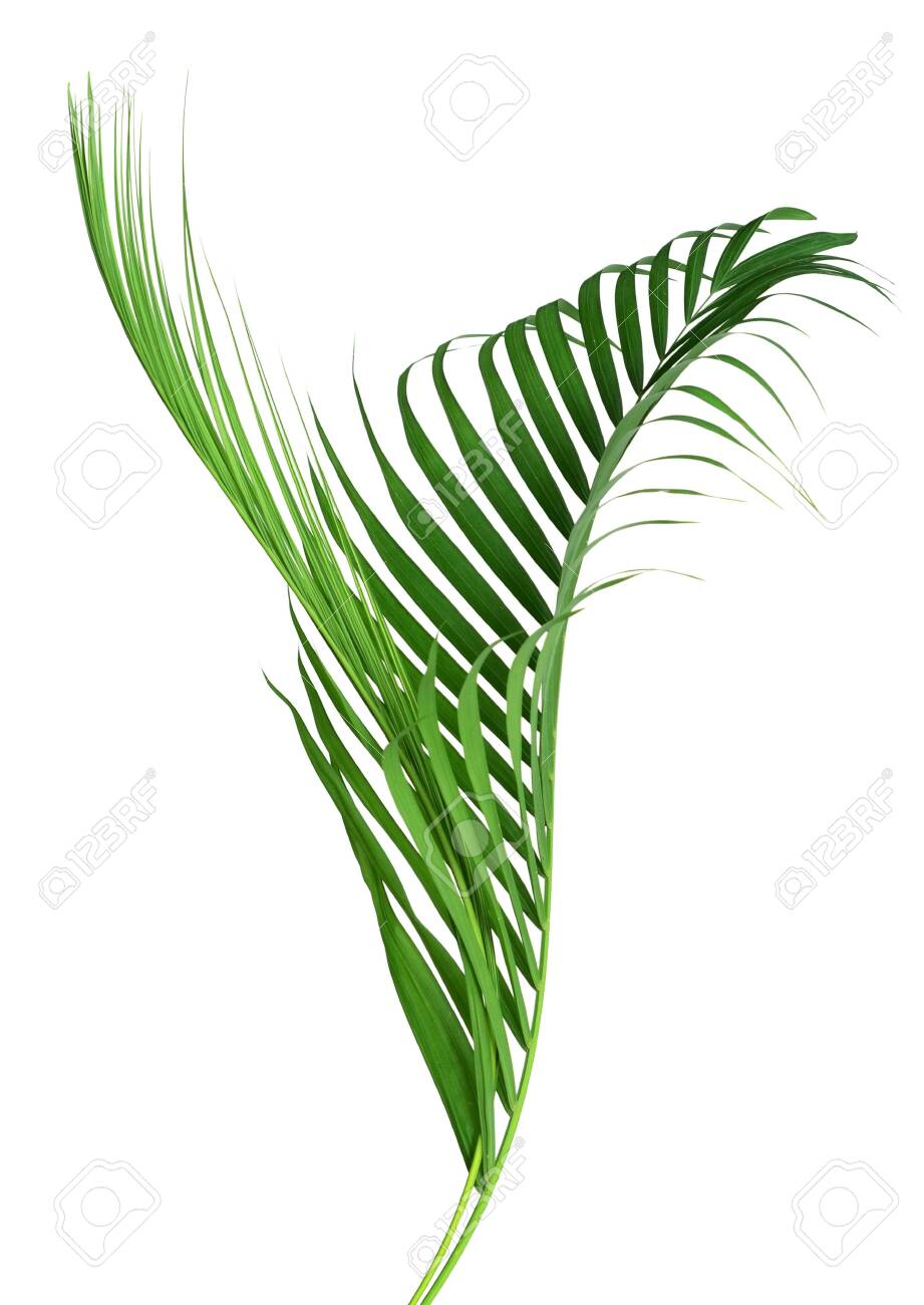 Yellow Palm Leaves Dypsis Lutescens Or Golden Cane Palm Areca Stock Photo Picture And Royalty Free Image Image 122708673