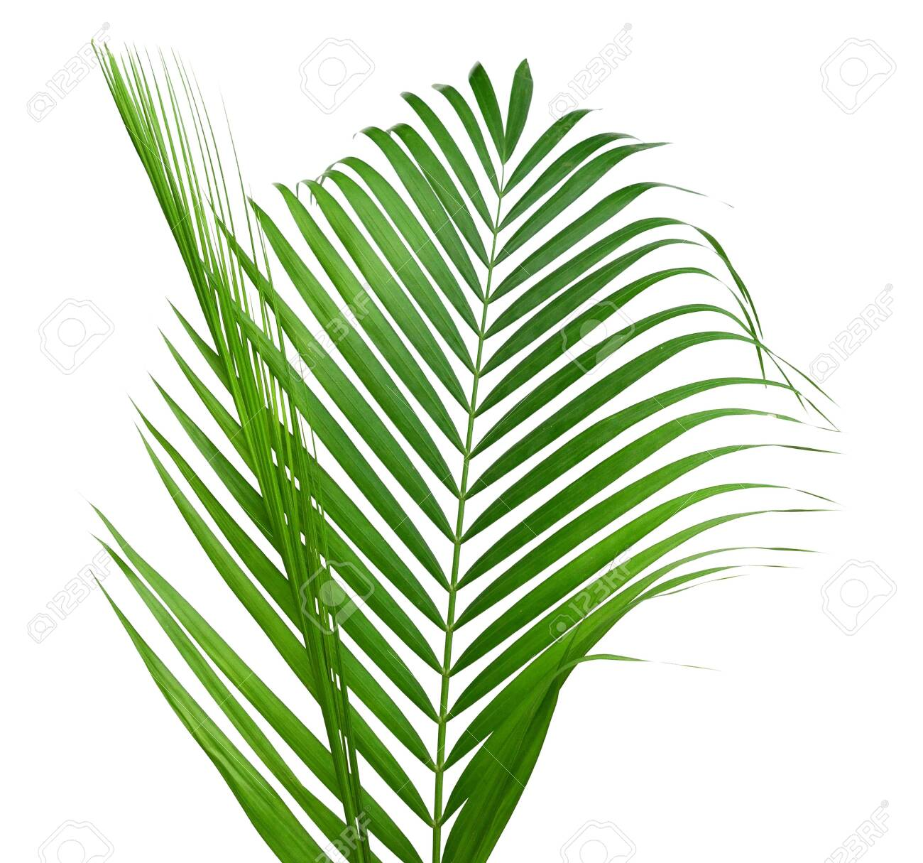 Yellow Palm Leaves Dypsis Lutescens Or Golden Cane Palm Areca Stock Photo Picture And Royalty Free Image Image 123468326