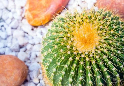 Medium Of Golden Barrel Cactus