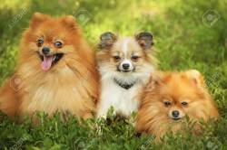 Small Of Cute Fluffy Dogs