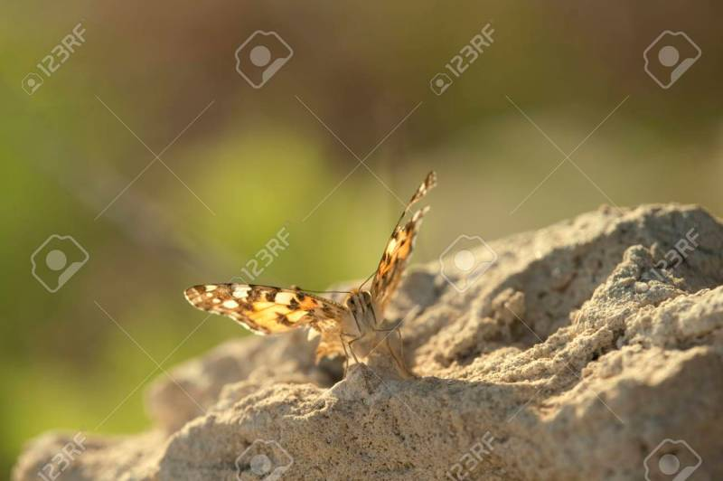 Large Of The Painted Lady