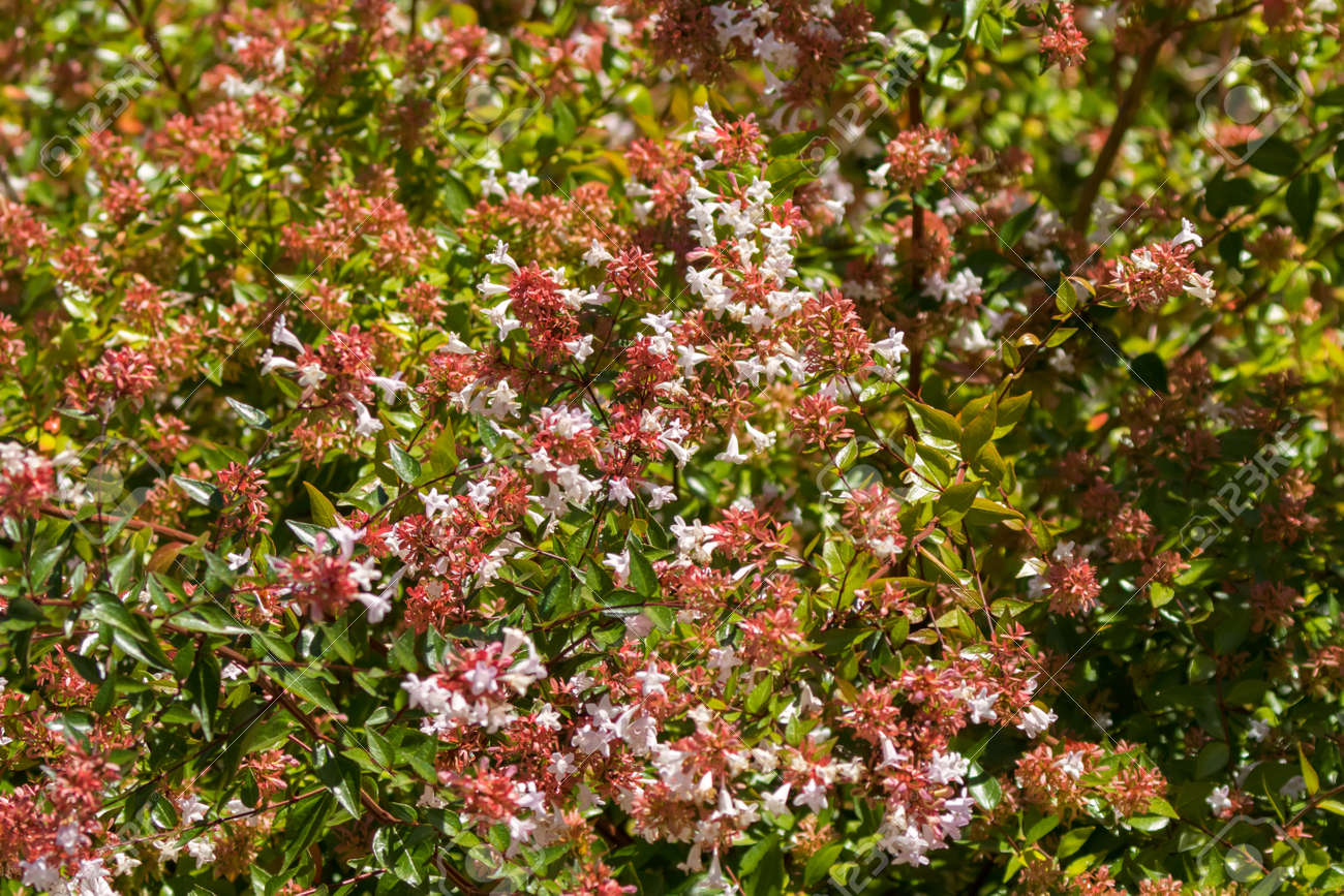 Pink Flowers Australia Pink Flowers Of Abelia X Grandiflora Blossoming During Summer