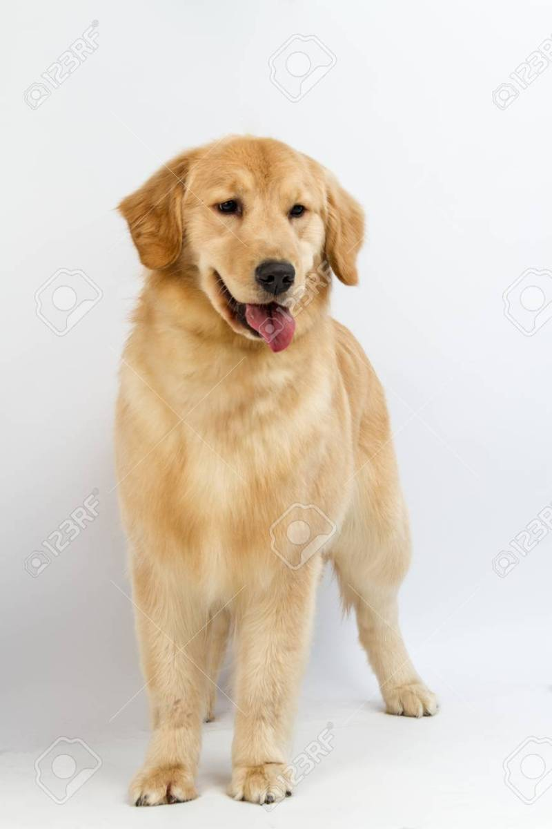 Large Of Pictures Of Golden Retrievers
