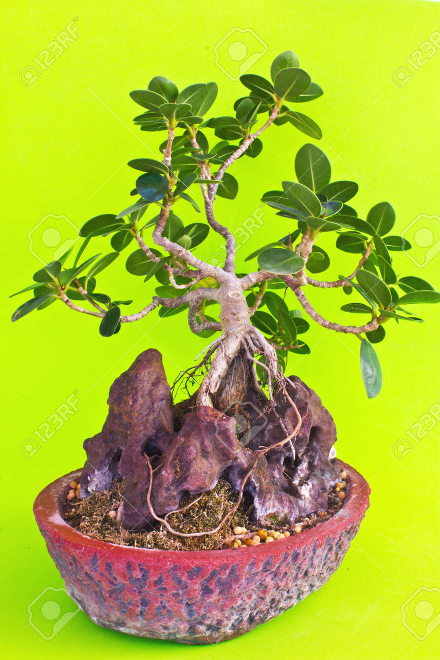 Pflege Bonsai Baum Stock Photo