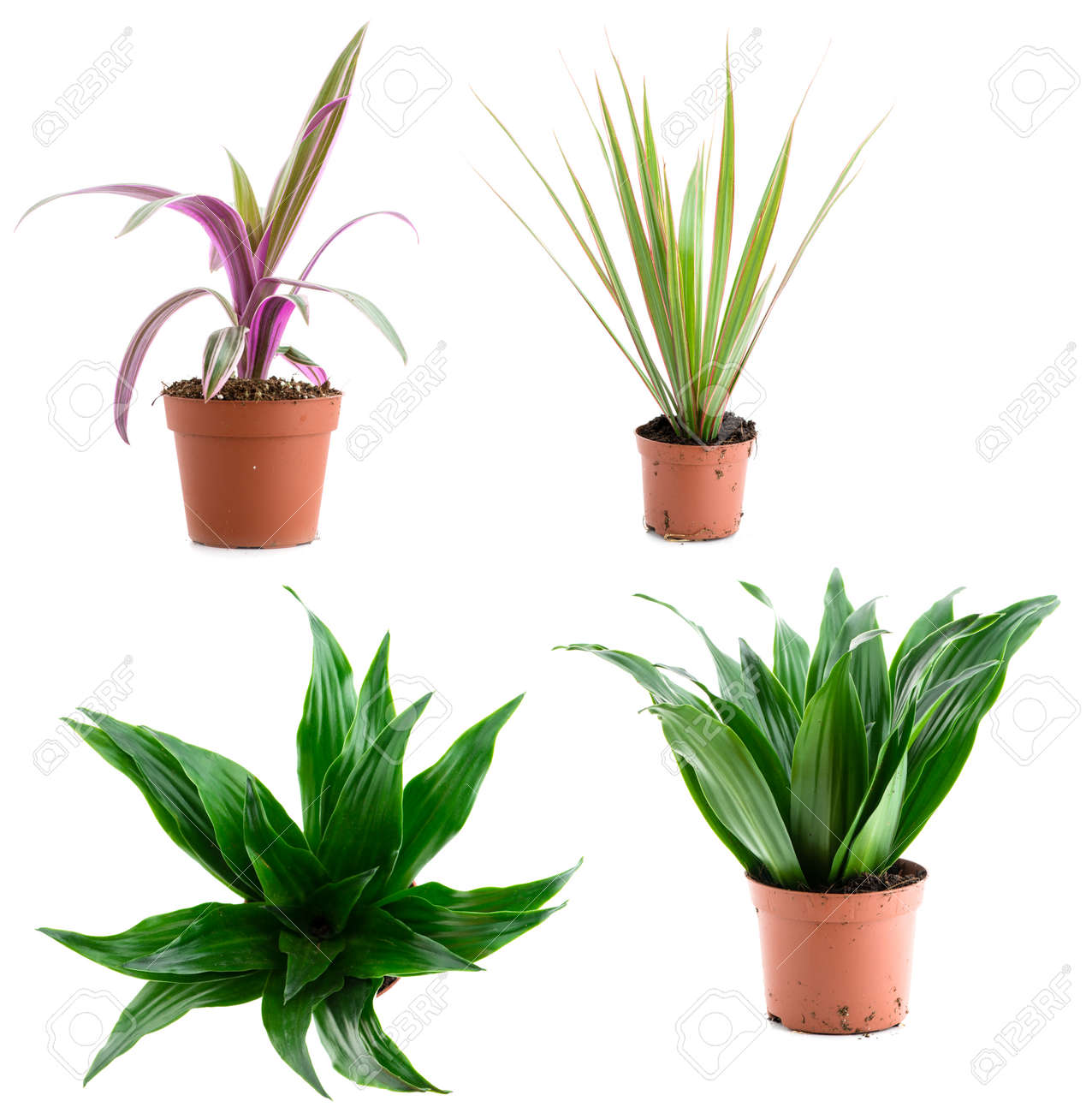 Dracaena Plant Set Of Pot Plant Dracaena Different Types Isolated On A White