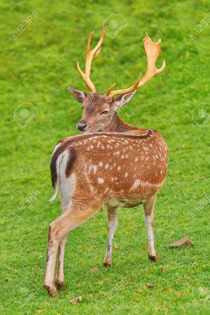 Rehe Bilder Stock Photo