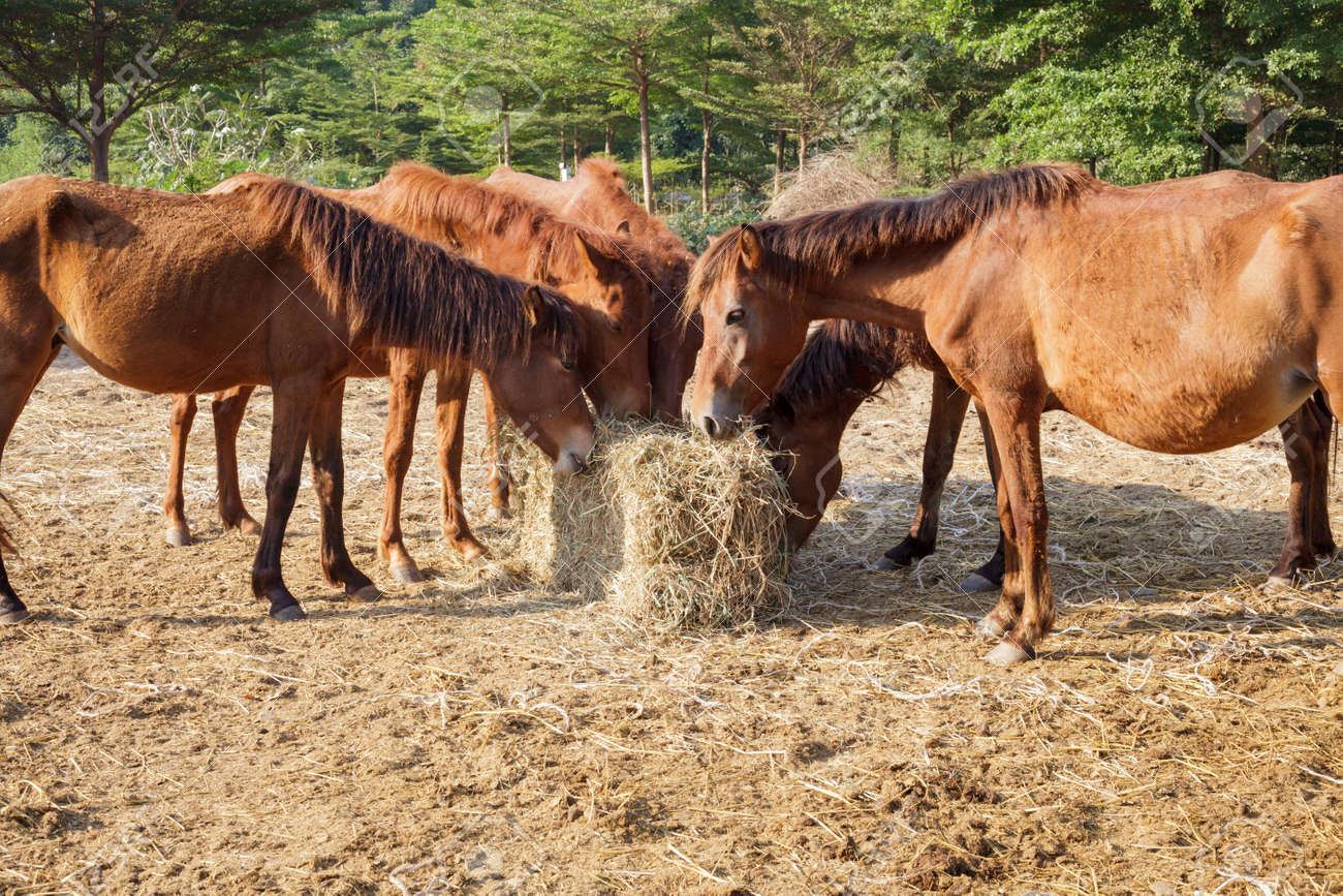 Feed Hay Many Horses Are Hungry For Morning Hay Horse Feed