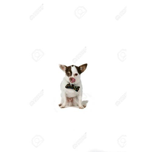 Medium Crop Of Small White Dog