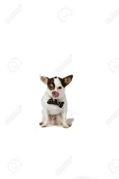 Medium Of Small White Dog