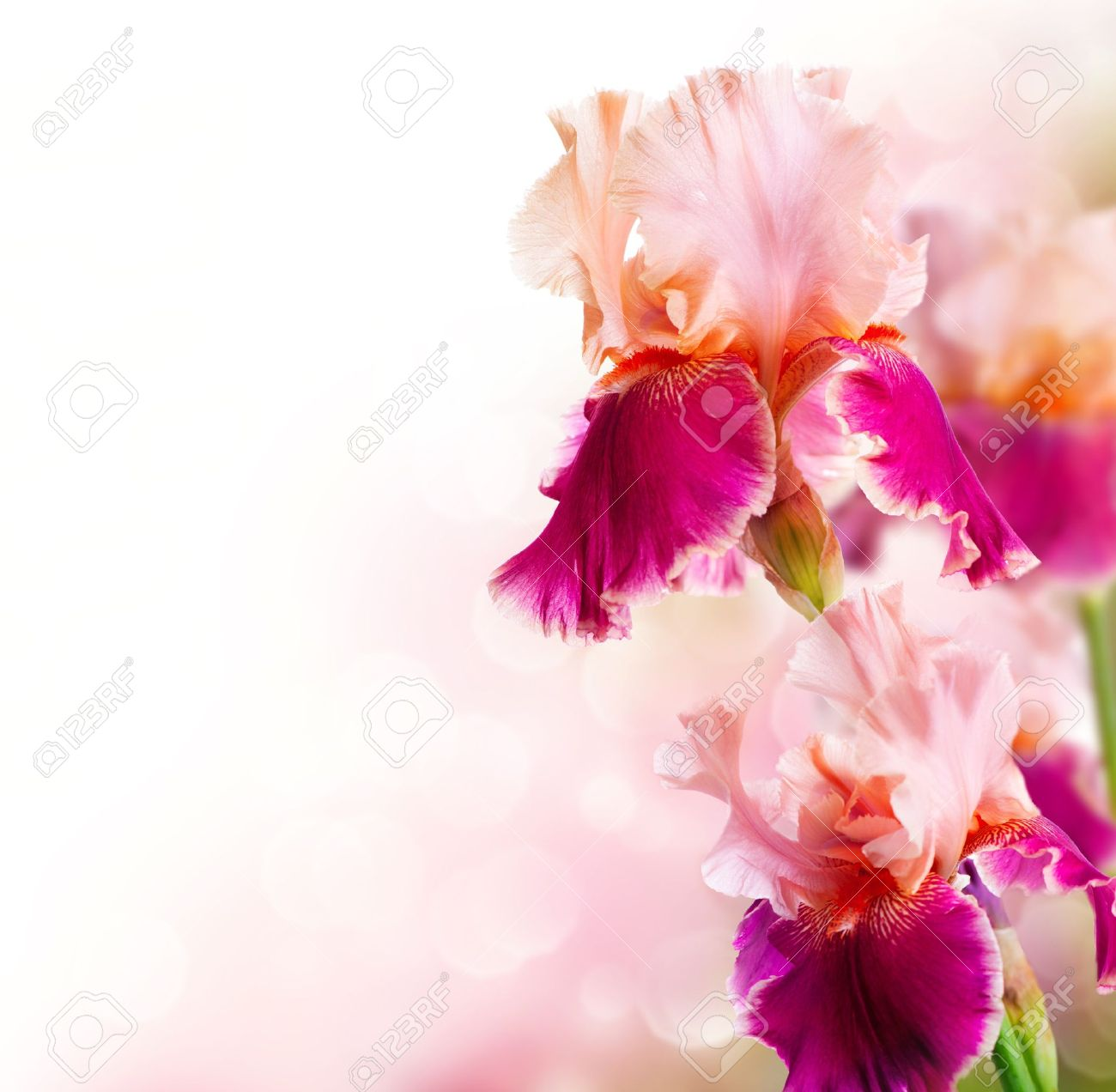 Beautiful Pictures Of Flowers Iris Flowers Art Design Beautiful Flower