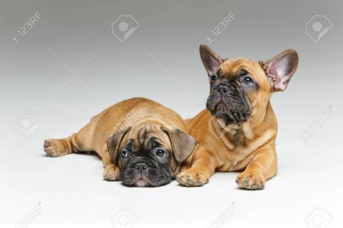 Medium Of Cute French Bulldog