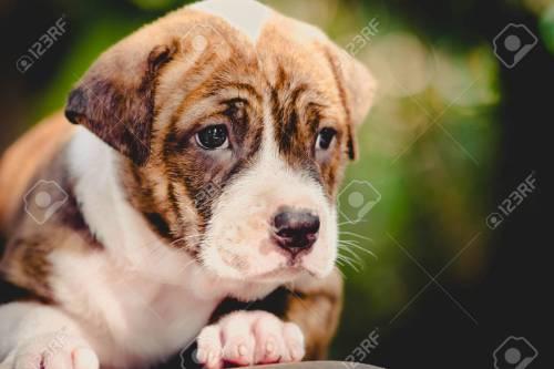 Medium Of Cute Pitbull Puppies
