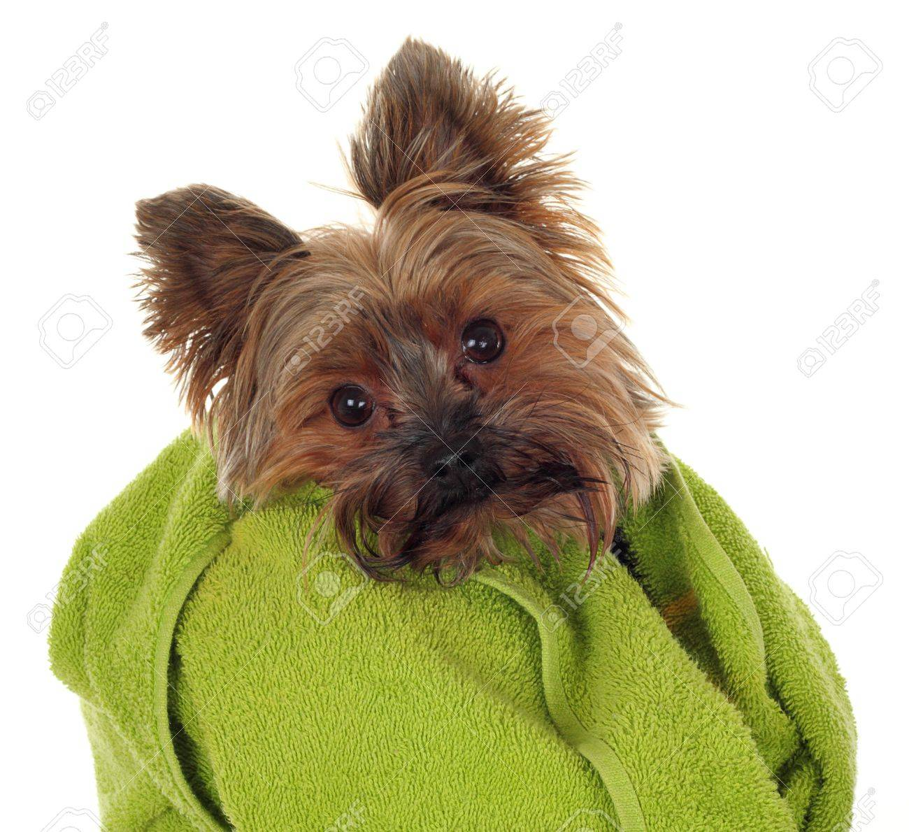 Bagno Yorkshire Yorkshire Terrier With Green Towel Before The Bath
