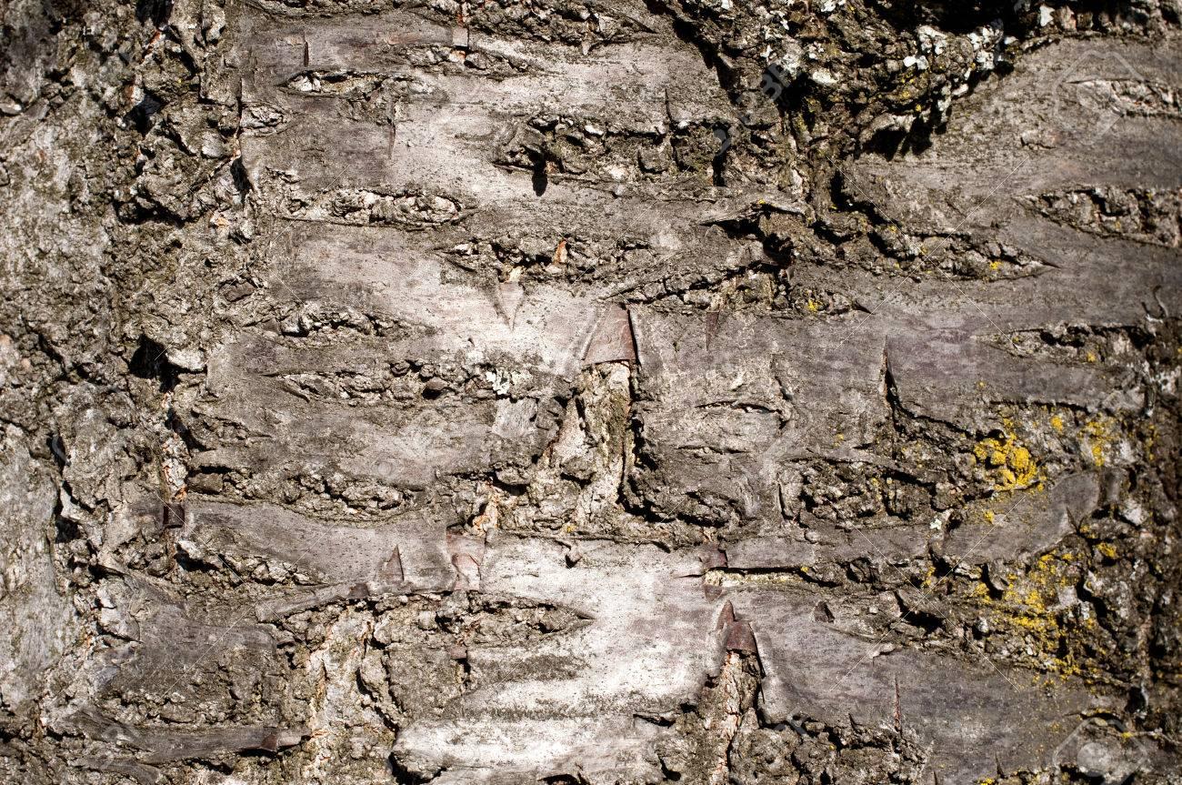 Fullsize Of Cherry Tree Bark