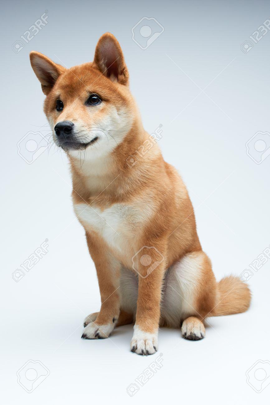 Corner Shiba Inu Puppy On Pure Background Stock Photo Shiba Inu Puppy On Pure Background Stock Shiba Inu Puppy Shiba Inu Moments bark post Shiba Inu Cute