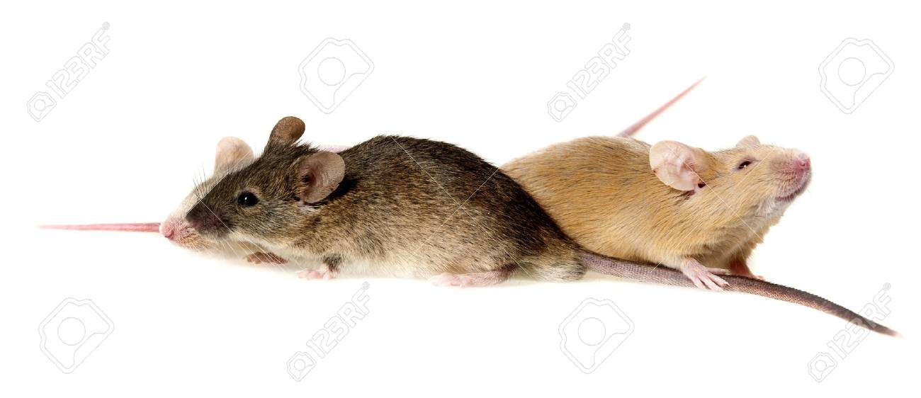 Three Cute Mice Isolated On A White Background Stock Photo, Picture
