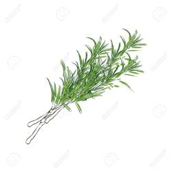 Small Crop Of Sprig Of Rosemary
